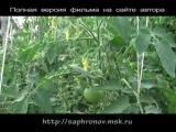 Сафронов О.Перцы-томаты